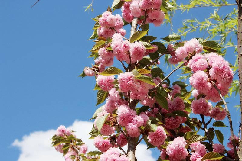 佛冈田园绿世界樱花季一日游