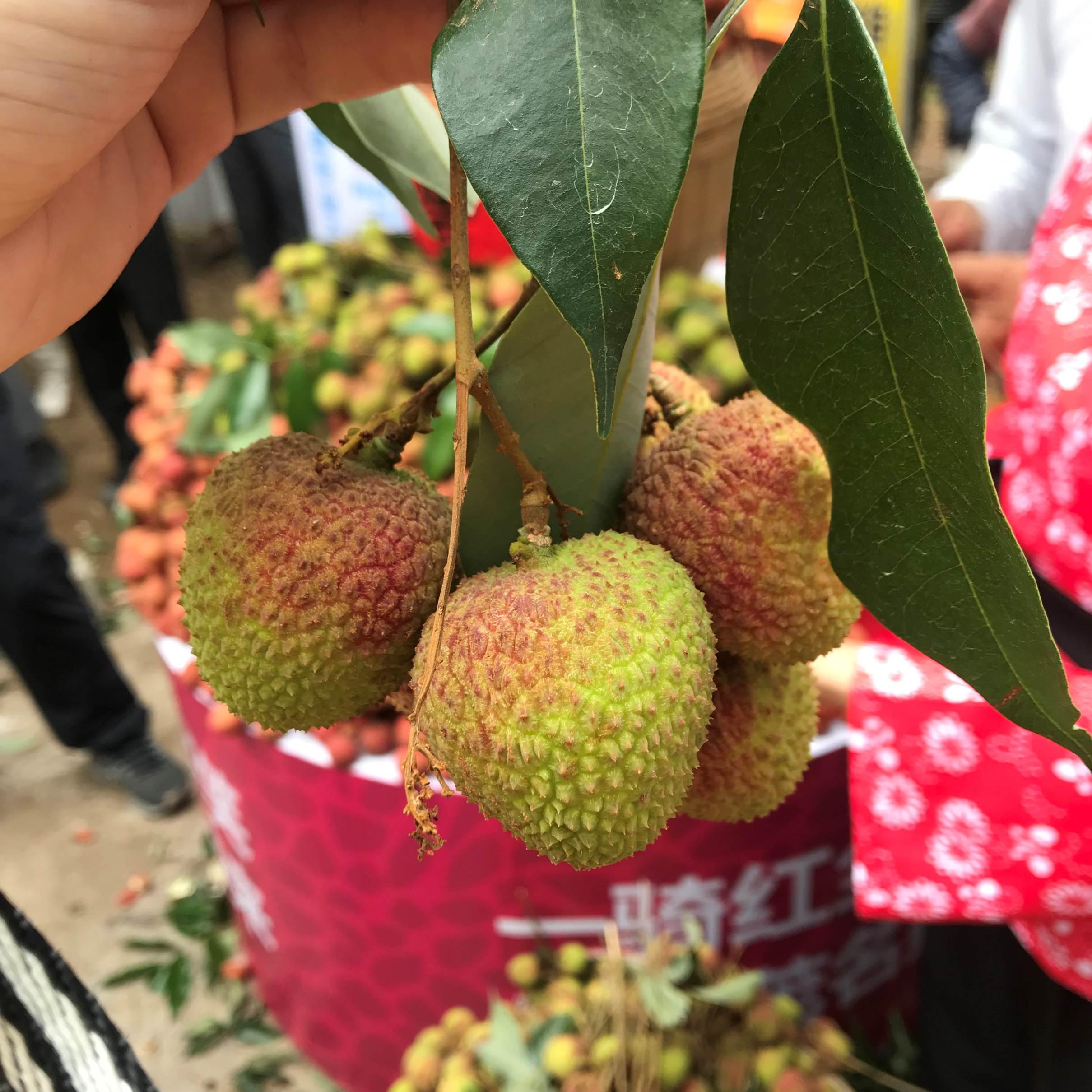【美荔相约】茂名浪漫海岸+荔枝园2日1晚